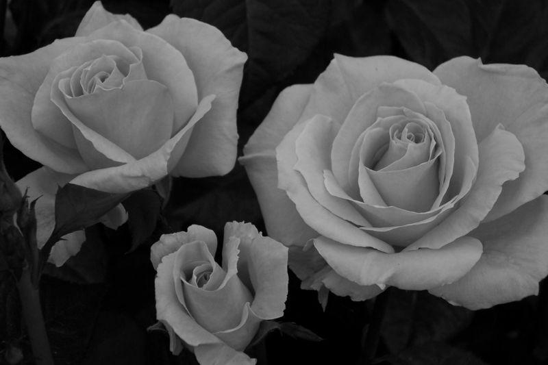 B&W 3 roses