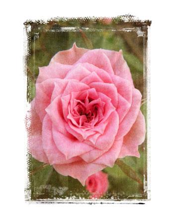 Pink-rose_edited-1